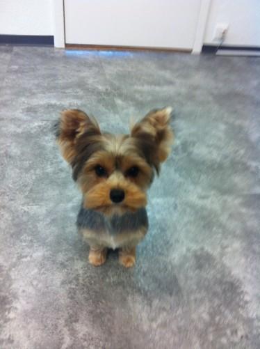 IMG_ELIT Hundesalon Yorkshire Terrier